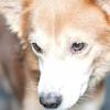 Comment éviter les attaques de chiens vicieux sur votre petit chien