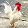 Comment prendre soin d'un animal de compagnie poulet