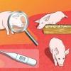 Comment se occuper d'un cochon avec une pneumonie