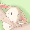 Comment prendre soin d'un lapin blessé
