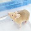 Comment choisir un rat de compagnie