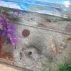 Comment nettoyer algues à partir d'un réservoir de poissons