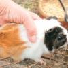 Comment nettoyer la cage d'un cochon de guinée