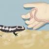 Comment nourrir une salamandre