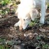 Comment obtenir un chien d'arrêter de manger la saleté