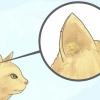 Comment se débarrasser des mites d'oreille chez un chat