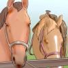 Comment toiletter un cheval arabe