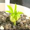 Comment faire pousser un arbre de moringa