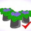 Comment faire pousser des violettes africaines intérieur