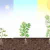 Comment cultiver la coriandre