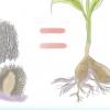 Comment faire pousser échinacée (echinacea)