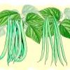 Comment faire pousser des haricots verts