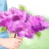 Comment faire pousser des lilas