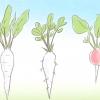 Comment faire pousser des radis