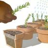 Comment faire pousser de romarin