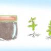 Comment faire pousser l'herbe de saint-jean