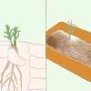 Comment cultiver l'estragon