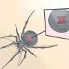 Comment identifier une araignée veuve noire