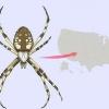 Comment identifier une araignée de jardin