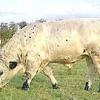 Comment identifier les bovins blancs britanniques