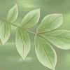 Comment identifier arbres caryer