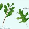 Comment identifier feuilles de chêne