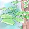 Comment identifier sumac à vernis