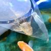 Comment introduire une pleco à un réservoir de poissons rouges