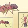 Comment tuer les fourmis charpentières