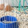 Comment savoir si votre hamster se meurt