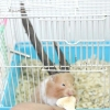 Comment savoir quand votre hamster est enceinte