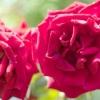 Comment maintenir roses