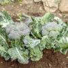 Comment choisir le brocoli