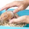 Comment chercher un hamster pour la première fois
