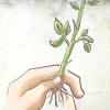 Comment planter un rosier racines nues dans un pot