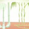 Comment planter un bambou agglutination
