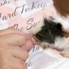 Comment jouer avec un cochon de guinée