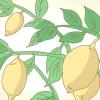 Comment tailler un arbre de citron