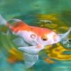Comment mettre en place un aquarium de poissons rouges plantés