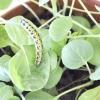 Comment prendre soin d'une chenille jusqu'à ce qu'il se transforme en un papillon ou papillon