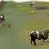 Comment bronzer peaux de vache dans runescape