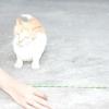 Comment enseigner à votre chat à sauter par-dessus un bâton