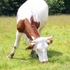 Comment savoir si une vache ou une génisse a été reproduite