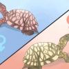 Comment savoir si une tortue est mâle ou femelle