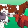 Comment faire la différence entre les taureaux, les vaches, les boeufs et génisses