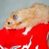 Comment former un hamster à descendre votre chemise