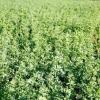 Comment utiliser des engrais verts